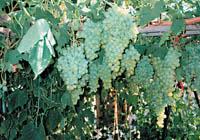 Talee del vitigno